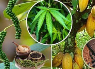 6 მცენარე, კანაფის გარდა, რომლებიც კანაბიონიდებს შეიცავენ