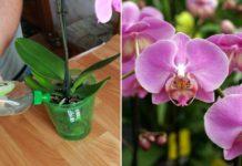 ბანანის ქერქი ორქიდეასთვის - თუ გსურთ ლამაზი ყვავილებით დატკბეთ